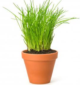 erba cipollina pianta