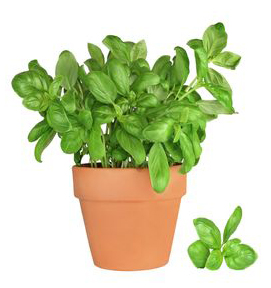 Come coltivare le erbe aromatiche in casa noodloves for Coltivare il basilico