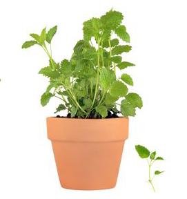 pianta menta