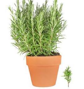 pianta rosmarino