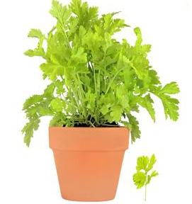 prezzemolo pianta