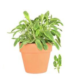 salvia pianta